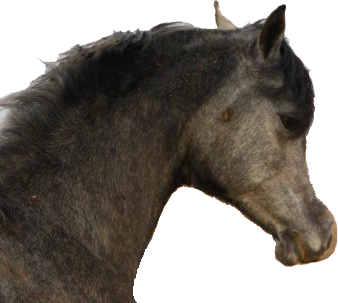 Yel's Arabians